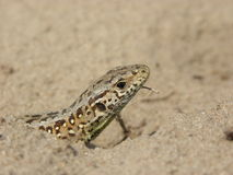 Sand-lizard Royalty Free Stock Photography