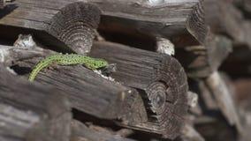 Sand lizard on firewood. 4k stock footage