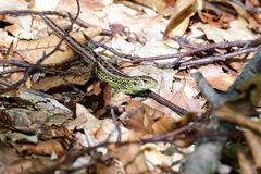 Sand lizard in the forest camouflage Royalty Free Stock Images