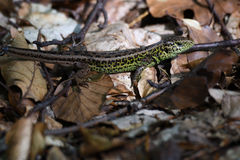 Sand lizard in the forest camouflage Stock Photos