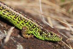 Sand lizard Royalty Free Stock Photos