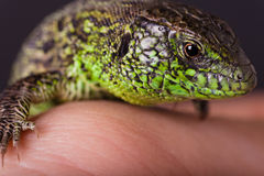 The Sand Lizard on Hand. The Sand Lizard (Lacerta agilis) is a lacertid lizard distributed across most of Europe and eastwards to Mongolia Royalty Free Stock Photos