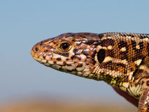 Sand lizard head Royalty Free Stock Photo