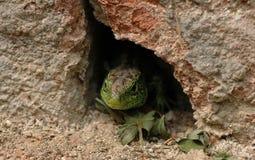 Sand lizard Royalty Free Stock Photography