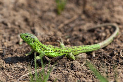 Sand Lizard, Lacerta agilis. Males tend to be darker and colour and turn partly or wholly bright green during the mating season Stock Photography