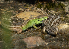 Sand Lizard (Lacerta agilis). Photo of two Sand Lizards Royalty Free Stock Photography