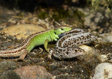 Sand Lizard (Lacerta agilis). Photo of two Sand Lizards Royalty Free Stock Image