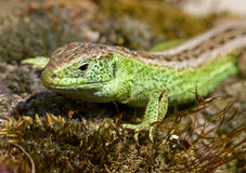Sand Lizard (Lacerta agilis) Royalty Free Stock Photo