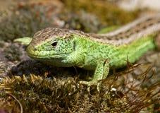 Sand Lizard (Lacerta agilis) Royalty Free Stock Photo