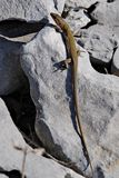 Sand lizard, Lacerta agilis Stock Photo