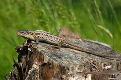 Sand Lizard, Lacerta agilis Stock Image