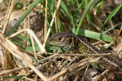 Sand Lizard (Lacerta agilis). Male sand lizard (Lacerta agilis) in habitat Royalty Free Stock Images