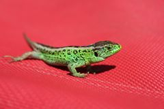 Summer background with green lizard. Summer background - green sand lizard sunbathing on a red deck chair royalty free stock photo