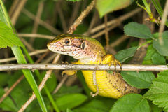 Sand Lizard (Lacerta agilis). A portrait of a Sand Lizard - close-up (Lacerta agilis Stock Photo