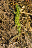 Sand Lizard, Lacerta agilis Stock Photography