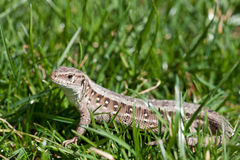 Sand lizard (Lacerta Agilis) Stock Photo