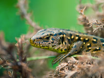 Sand Lizard (Lacerta agilis) Stock Photography
