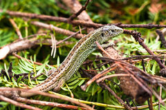 Sand Lizard - Lacerta Agilis Stock Images
