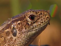 Sand lizard (Lacerta agilis) detail stock video footage