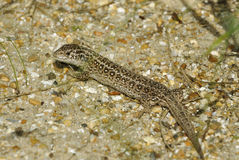 Sand Lizard Royalty Free Stock Photography
