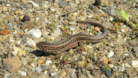 Sand lizard - Lacerta agilis. Female of Sand lizard, Lacerta agilis, basking on the ground Stock Photo