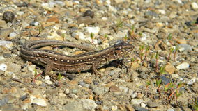 Sand lizard - Lacerta agilis. Female of Sand lizard, Lacerta agilis, basking on the ground Stock Photos