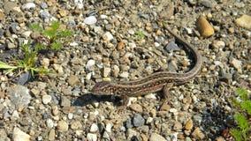 Sand lizard - Lacerta agilis Stock Images