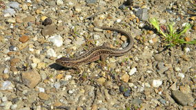 Sand lizard - Lacerta agilis. Female of Sand lizard, Lacerta agilis, sitting on the ground Royalty Free Stock Photos