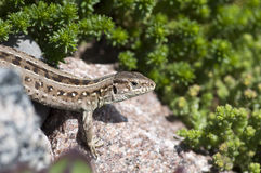 Sand lizard (Lacerta agilis) female. On stone Royalty Free Stock Photos