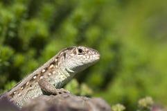 Sand lizard (Lacerta agilis) female Royalty Free Stock Photo
