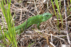 Sand lizard Lacerta agilis. Green lizard in may, national Park Meshchera, Ryazan oblast of Russia Royalty Free Stock Images