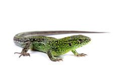 Sand lizard (Lacerta agilis) isolated on white Stock Photos