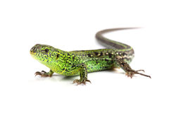 Sand lizard (Lacerta agilis) isolated on white Royalty Free Stock Photo