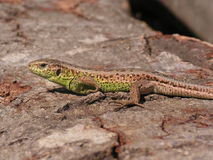 Sand lizard - Lacerta agilis. The sand lizard (Lacerta agilis) is a lacertid lizard distributed across most of Europe and eastwards to Mongolia. It does not Stock Photo