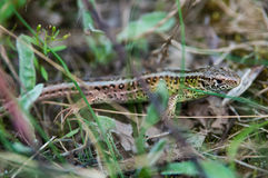 The sand lizard (Lacerta agilis) Stock Images