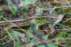 The sand lizard (Lacerta agilis) Royalty Free Stock Photos