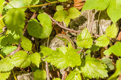 Sand Lizard (Lacerta Agilis) among the leaves Royalty Free Stock Image