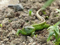Sand lizard, lacerta agilis. Lies in a flower bed in the garden Stock Image