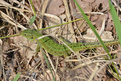 Sand lizard, Lacerta agilis. The male lizard in breeding green color Stock Image