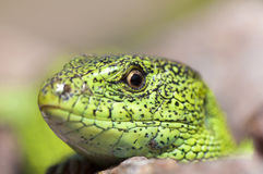 Sand lizard (Lacerta agilis) male close up. Sand lizard (Lacerta agilis) male during mating season close up Royalty Free Stock Images