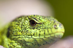 Sand lizard (Lacerta agilis) male close up. Sand lizard (Lacerta agilis) male during mating season close up Stock Photos