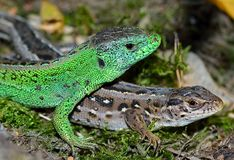 Sand lizard (Lacerta agilis). Male and female Sand lizard (Lacerta agilis) during courtship Stock Photo