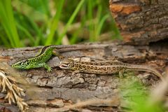 Sand lizard Lacerta agilis male and female in mating colors. Sand lizard Lacerta agilis, male and female in mating colors Stock Photos