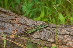 Sand lizard Lacerta agilis, male in mating colors. Sand lizard Lacerta agilis , male in mating colors Royalty Free Stock Image