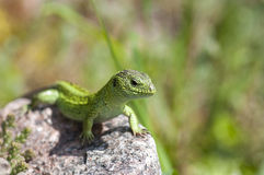 Sand lizard (Lacerta agilis) male Royalty Free Stock Images