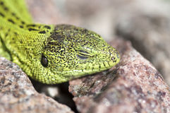 Sand lizard (Lacerta agilis) male sunbathing close up. Sand lizard (Lacerta agilis) male during mating season close up Royalty Free Stock Images