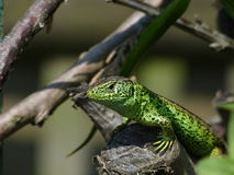 Sand Lizard, Lacerta Agilis, observed. His environment Stock Photo