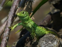 Sand Lizard, Lacerta Agilis, observed. His environment Royalty Free Stock Image