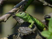 Sand Lizard, Lacerta Agilis, observed. His environment Stock Images