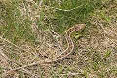Sand lizard - Lacerta agilis. Picture of a sand lizard taken in Transylvania in March 2014 Stock Images